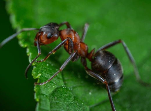 Size Does Matter Ant